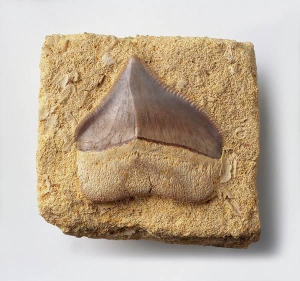 Cretaceous Wall Art - Photograph - Fossilised Tooth Of Crow Shark by Dorling Kindersley/uig