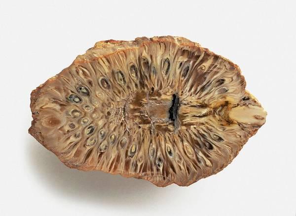 Cross Section Photograph - Fossilized Araucaria Araucana by Dorling Kindersley/uig