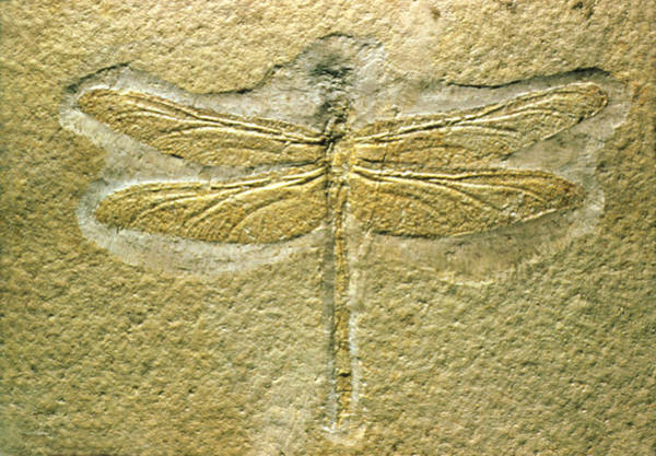 Photograph - Fossilized Dragonfly by Perennou Nuridsany