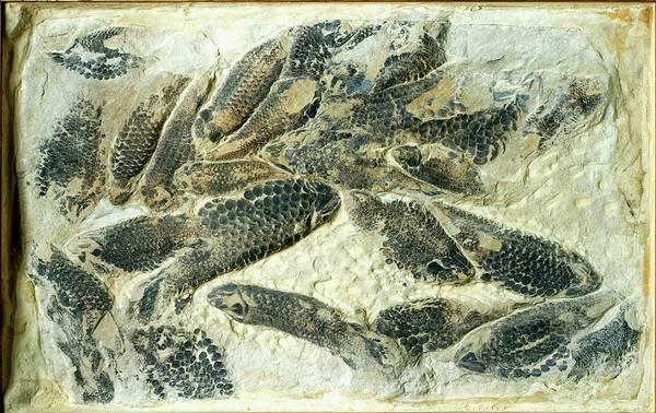 Extinct Photograph - Fossilized Holoptychius Flemingii by Dorling Kindersley/uig