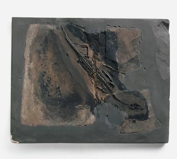 Extinct Photograph - Fossilized Neusticosaurus Peyeri Skeleton by Dorling Kindersley/uig