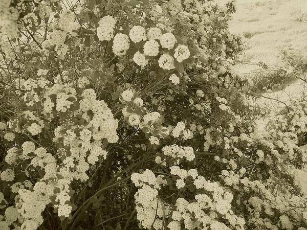 Photograph - Fountain Of Blossoms by Mary Wolf