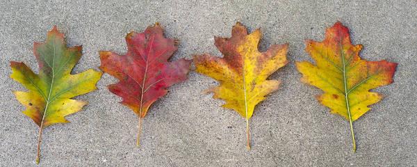 Photograph - Four Autumn Leaves by Lynn Hansen
