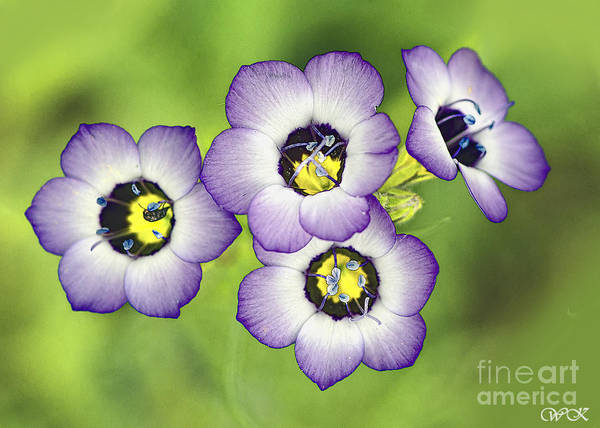 Photograph - Four Beauties by Wanda Krack