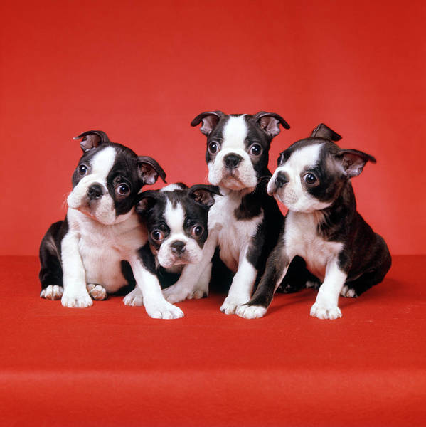 Wall Art - Photograph - Four Boston Terrier Puppies On Red by Vintage Images