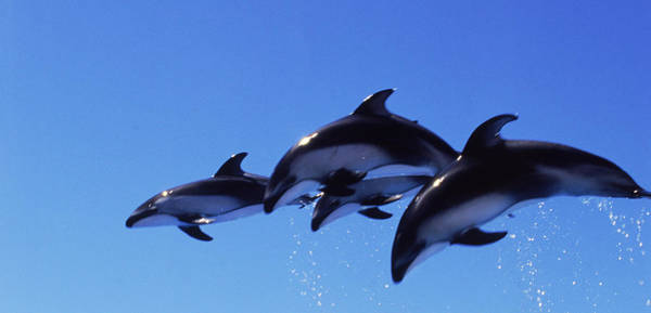 Jumping Photograph - Four Bottle-nosed Dolphins Tursiops by Panoramic Images