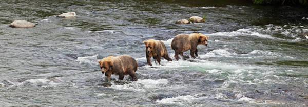 Wall Art - Photograph - Four Brown Bears  Ursus Arctos  Wade by Gary Schultz
