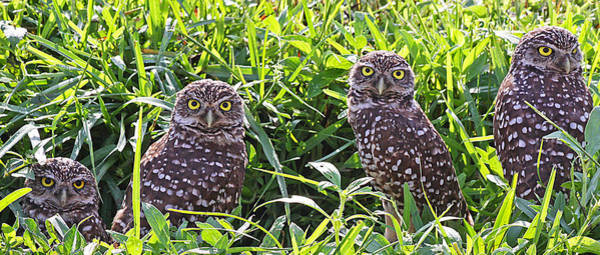 Photograph - Four Burrowing Owls by Dart and Suze Humeston