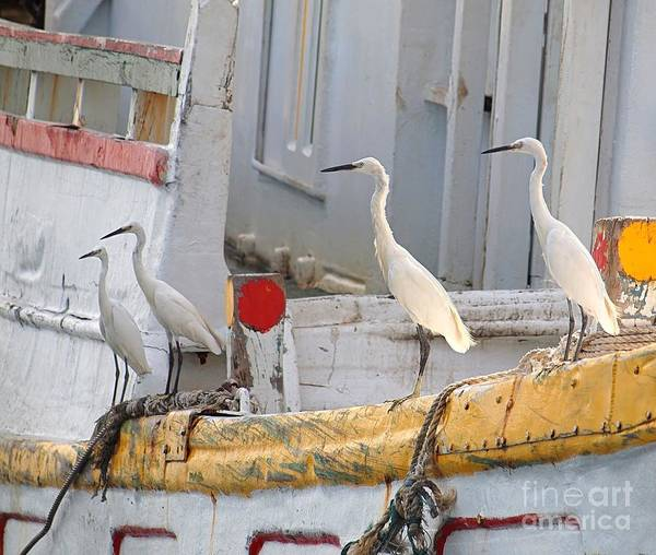 Four Egrets Watch For Fish Art Print