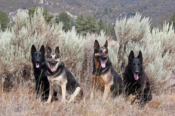 Security Service Photograph - Four German Shepherds Sitting by Zandria Muench Beraldo