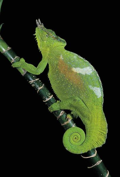 Wall Art - Photograph - Four-horned Chameleon by Craig K. Lorenz