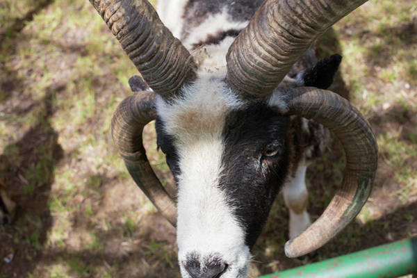 Petting Zoo Photograph - Four-horned Jacob Sheep by Jim West