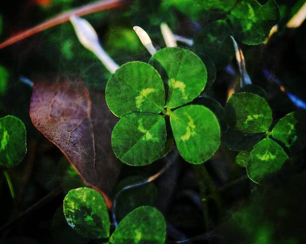 Photograph - Four Leaf Clover by MM Anderson
