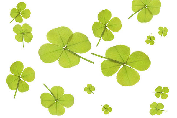 Four Leaf Clover Photograph - Four Leaf Clover by Science Stock Photography/science Photo Library