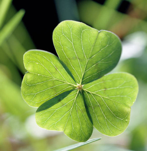 Four Leaf Clover Photograph - Four-leaf Clover by Steve Percival/science Photo Library