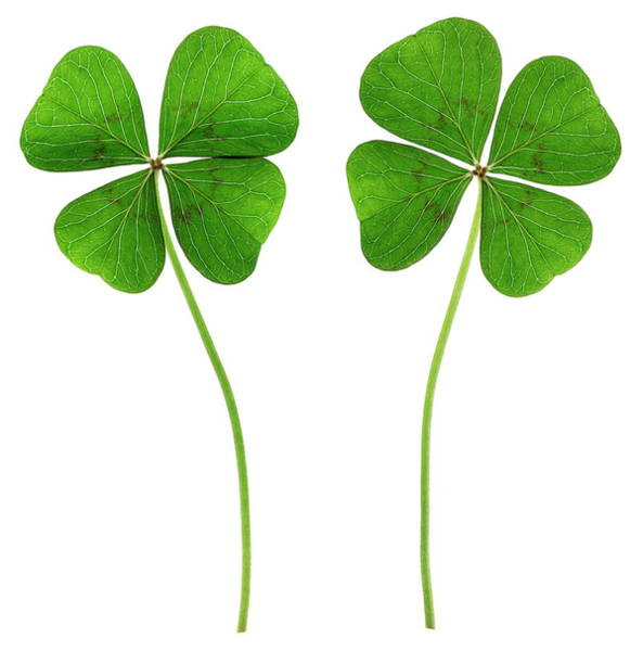 Four Leaf Clover Photograph - Four-leaf Clovers (trifolium Sp.) by Gustoimages/science Photo Library