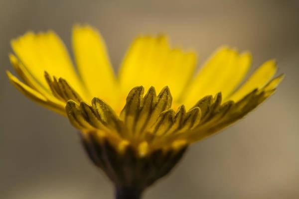 Photograph - Four-nerve Daisy by Steven Schwartzman