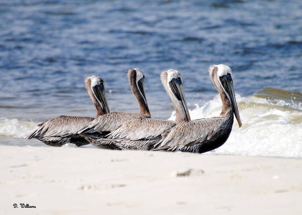 Photograph - Four Pelicans by Dan Williams