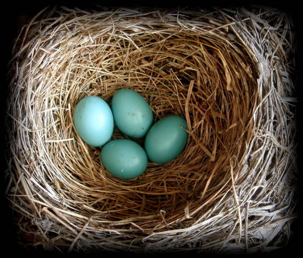 Robin Egg Blue Photograph - Four Robins In Waiting by Toni Abdnour