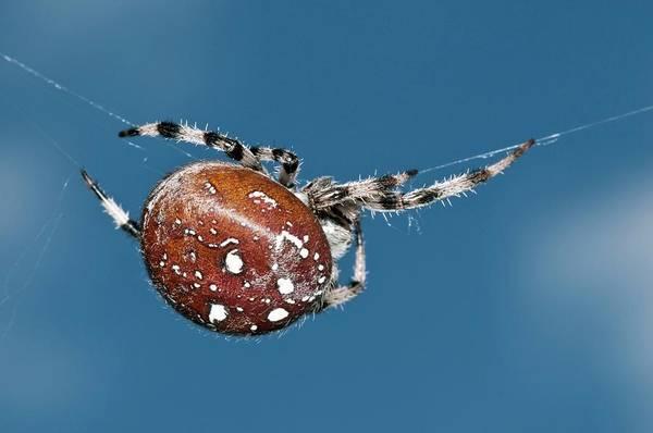 Orb Weaver Photograph - Four-spot Orb-weaver Spider by Dr. John Brackenbury/science Photo Library