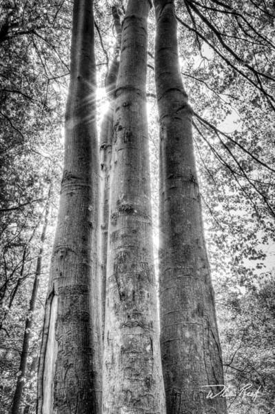 Photograph - Four Trunks by William Reek