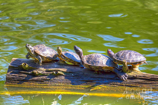 Photograph - Four Turtles by Kate Brown