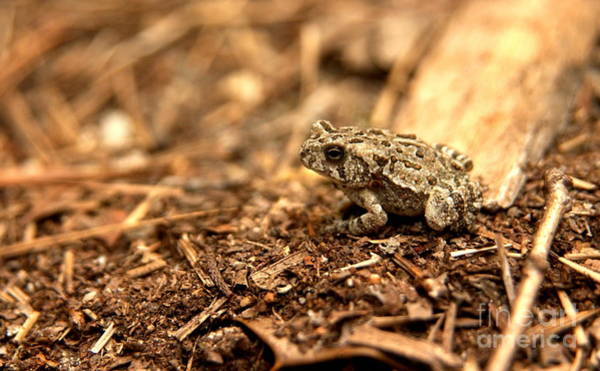 Brown County State Park Photograph - Fowler's Toad At Trap Pond by Anna Lisa Yoder