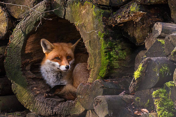 Woods Photograph - Fox by Cees Van Ginkel