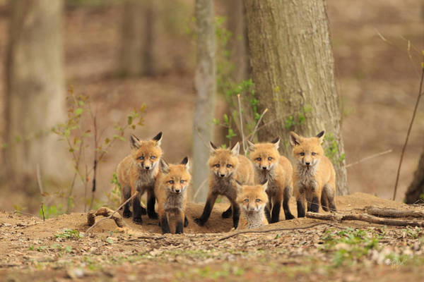 Rick Wall Art - Photograph - Fox Family Portrait by Everet Regal