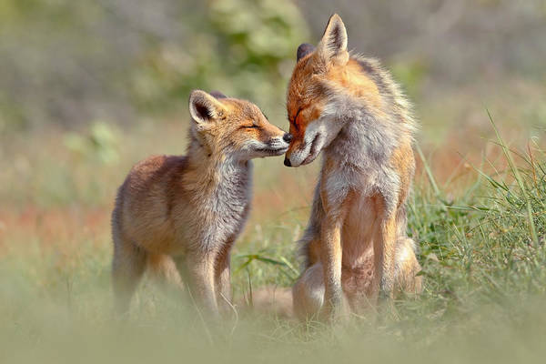 Love Wall Art -  - Fox Felicity - Mother And Fox Kit Showing Love And Affection by Roeselien Raimond
