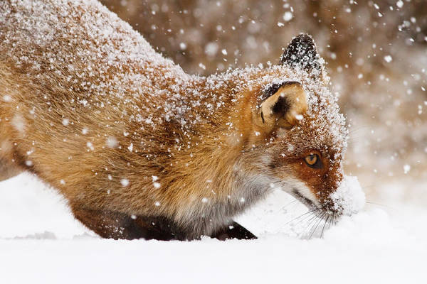 Eye Ball Photograph - Fox First Snow by Roeselien Raimond