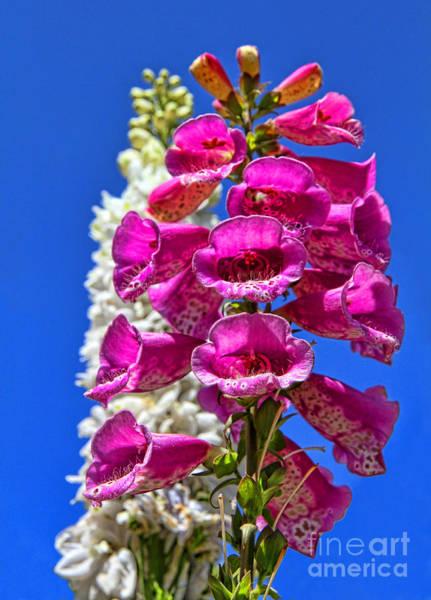 Photograph - Fox Glove Flowers By Diana Sainz by Diana Raquel Sainz