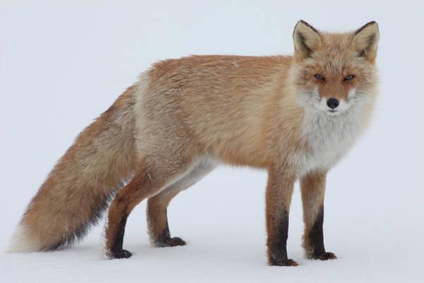 Snowfield Photograph - Fox In Snow Field by Ichiro