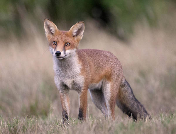 Vertebrate Photograph - Fox Looking Up by Richard Mcmanus