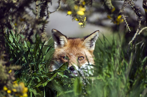 Laying Out Photograph - Fox by Matthew Gibson