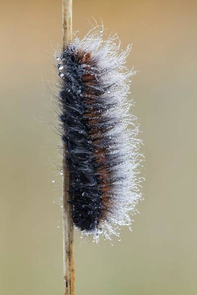 Arthropods Wall Art - Photograph - Fox Moth Caterpillar by Heath Mcdonald
