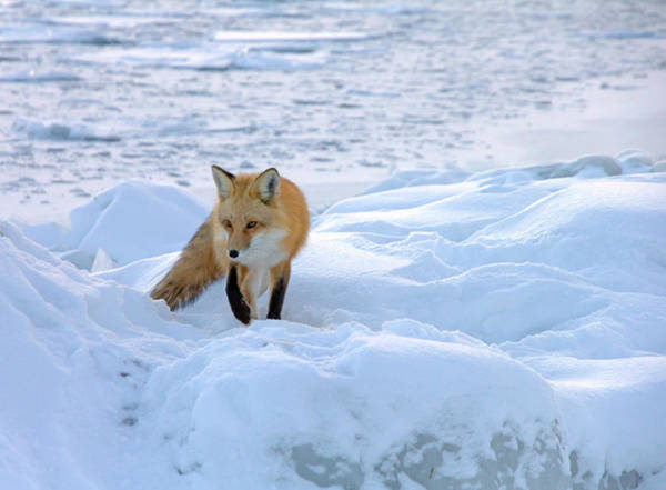 Blue Hour Photograph - Fox Of The North II by Mary Amerman