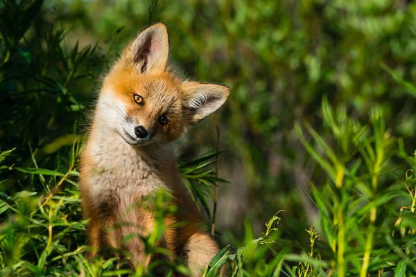 Pup Photograph - Fox Pup by Ian Stotesbury