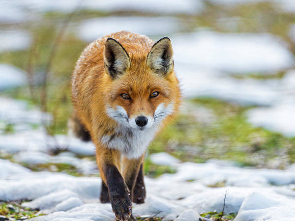 In The Grass Photograph - Fox Walking Towards Me by Picture By Tambako The Jaguar