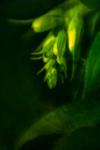 Photograph - Foxglove Buds by  Onyonet  Photo Studios