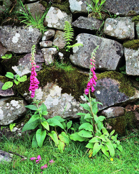 Wall Art - Photograph - Foxglove Plants by Simon Fraser/science Photo Library