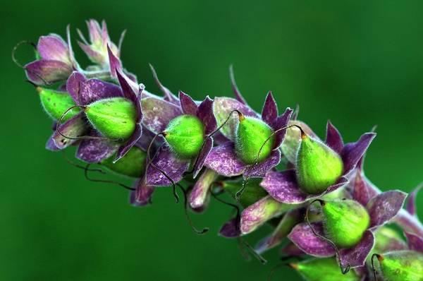 Foxglove Wall Art - Photograph - Foxglove Seed Pods by Colin Varndell