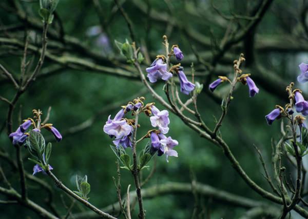 Foxglove Photograph - Foxglove Tree (paulownia Tomentosa) by Ian Gowland/science Photo Library