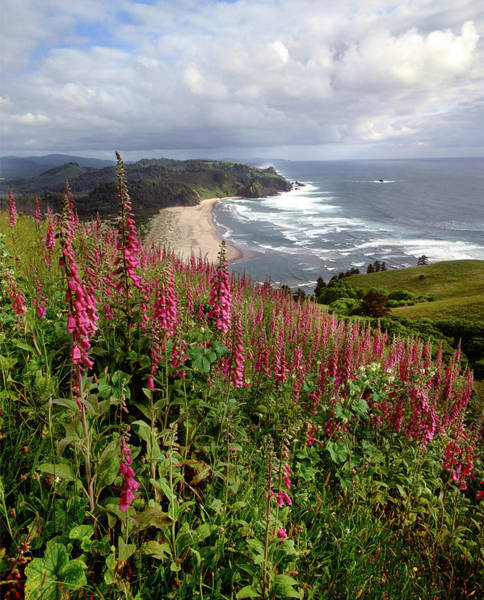 Nature Conservancy Photograph - Foxgloves At Cascade Head, The Nature by Panoramic Images