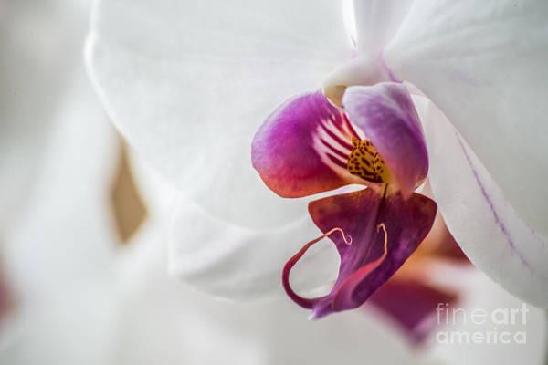 Photograph - Fragile Beauty by Hannes Cmarits