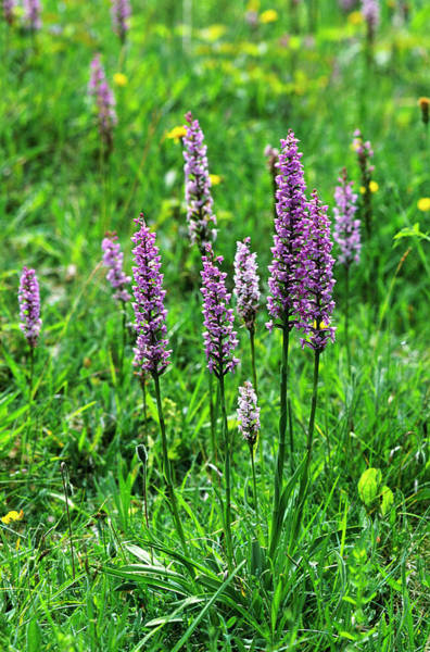 Fragrant Photograph - Fragrant Orchids by Leslie J Borg/science Photo Library