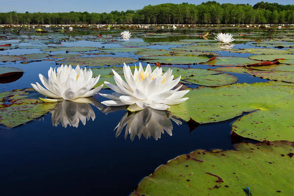 Caddo Lake Wall Art - Photograph - Fragrant Water Lilies On Caddo Lake by Larry Ditto