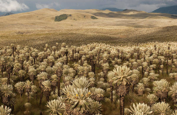 Colombia Photograph - Frailejones', Espeletia Pycnophylla by Pete Oxford