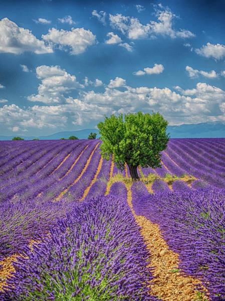 Wall Art - Photograph - France, Provence, Valensole, Lone Tree by Terry Eggers