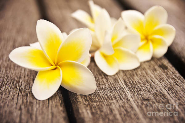Scent Photograph - Frangipani Flower by Delphimages Photo Creations